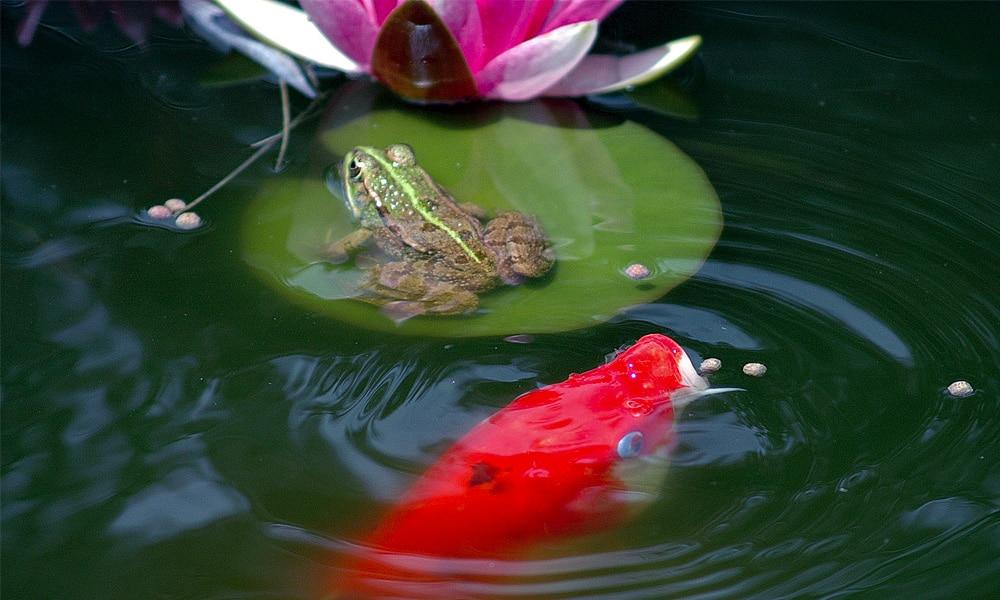 Laghetto carpe koi fai da te con sistema di drenaggio for Filtro acquario fai da te